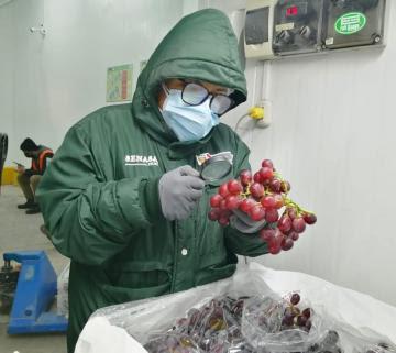 Perú inicia exportación de uva hacia la Argentina