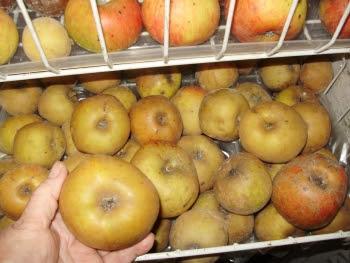 Ashmead's Kernal in my very effective apple store - a re-purposed old broken freezer!