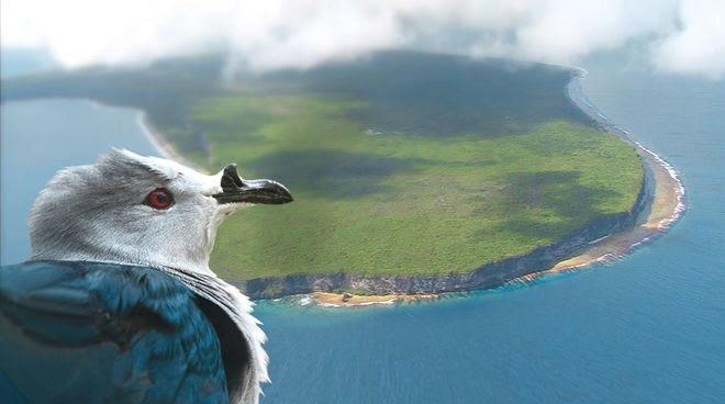 Un Carpophage de la Société ou « Rupe » (Ducula aurorae) regarde du ciel l'atoll soulevé de Makatea en Polynésie française