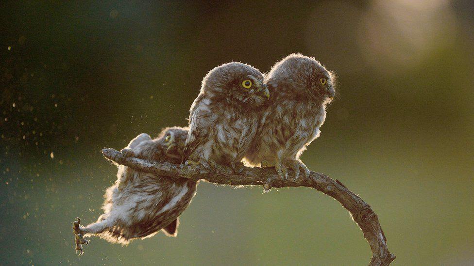 An owl falling off a perch