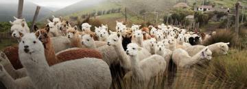 SPAR solicita al próximo gobierno implementar seguro alpaquero