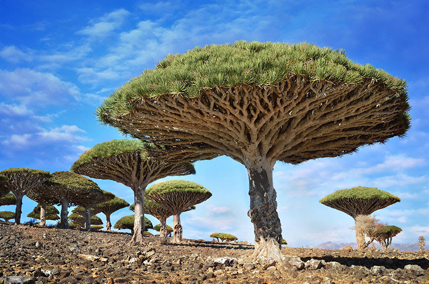 The dragonblood tree named because of its crimson red sap, used as a dye  a violin varnish, an alchemical ingredient, and a folk remedy for various ailments. By Csilla Zelko)
