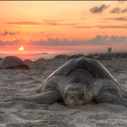 Sea turtles laying in sand