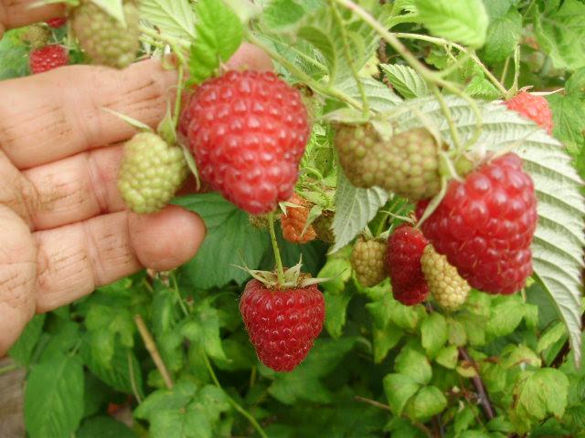 Huge tasty fruit of raspberry 'Sugana'