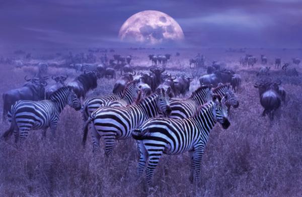 A herd of zebras in the moonlight