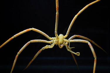 A Colossendeis megalonyx sea spider in McMurdo Sound, Antarctica.