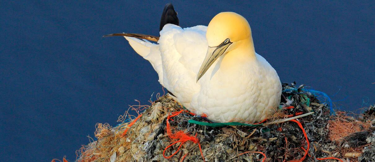 Northern Gannet on nest with plastic. Photo by Ondrej Prosicky, Shutterstock