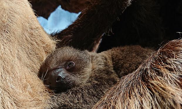 Baby sloth Elio