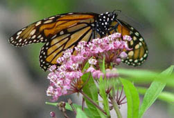 monarch butterfly & milkweed plant