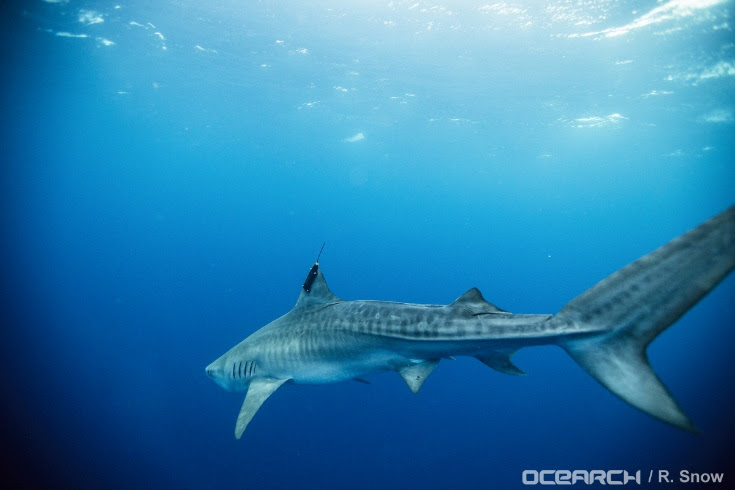 Newswise: Movements of Tiger Sharks at Varying Life Stages Tracked in Gulf of Mexico
