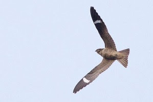 Common Nighthawk by J Richardson