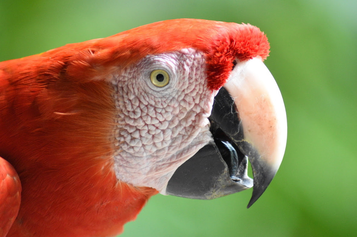 Side profile of scarlet macaw