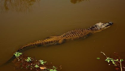 Alligators Are Now the Largest Species Known to Regrow Severed Limbs