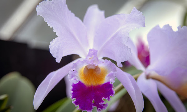 Image of a Colombian Orchid