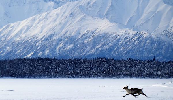 A lone caribou in Alaska