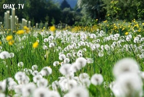 Hoa Bồ Công Anh - Lời tiên tri,hoa ngữ,ngôn ngữ các loài hoa,hoa quả,hoa đẹp