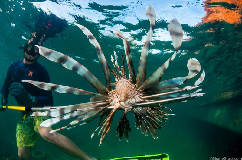 lionfish derby 2016, Shane Gross Photography, Green Turtle