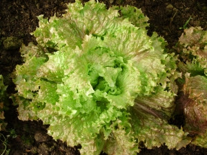 One  of the best overwintering lettuces - 'Lattughino'