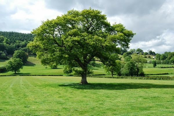 Might Oak Tree