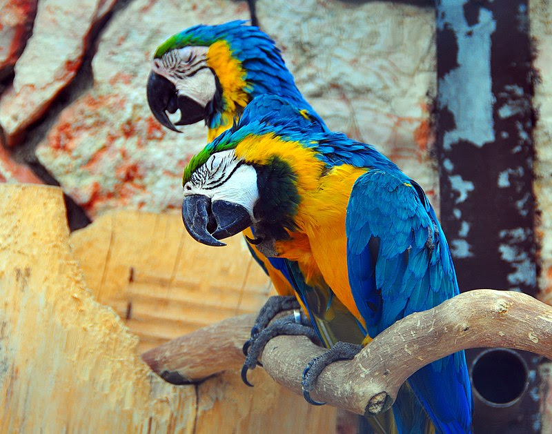 File:Schläfrige Gelbbrustaras (sleepy Blue-and-yellow Macaws) Weltvogelpark Walsrode 2010.jpg