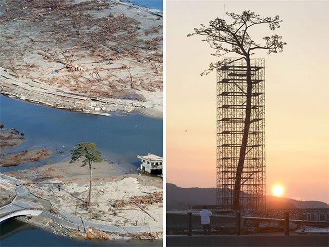 Đây là cây xanh duy nhất còn tồn tại trong số 70.000 cây bị thiệt hại do thảm họa sóng thần ở Nhật Bản, nó đã được bảo tồn như một minh chứng cho tinh thần bất khuất của người Nhật