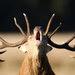 Un ciervo rojo durante la época de celo en Inglaterra. Los ciervos son los únicos mamíferos que pueden regenerar partes del cuerpo perdidas.