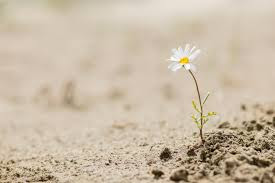 Daisy flower blooming on a sand desert | Texas Conference of Seventh-day  Adventists | Alvarado, TX