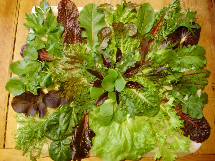 27 different kinds of salad leaves - all picked from the polytunnel - 23.2.17