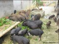 Tiệc chuyên đề lợn mán tại nhà, giá chỉ 200.000đ/suất 4