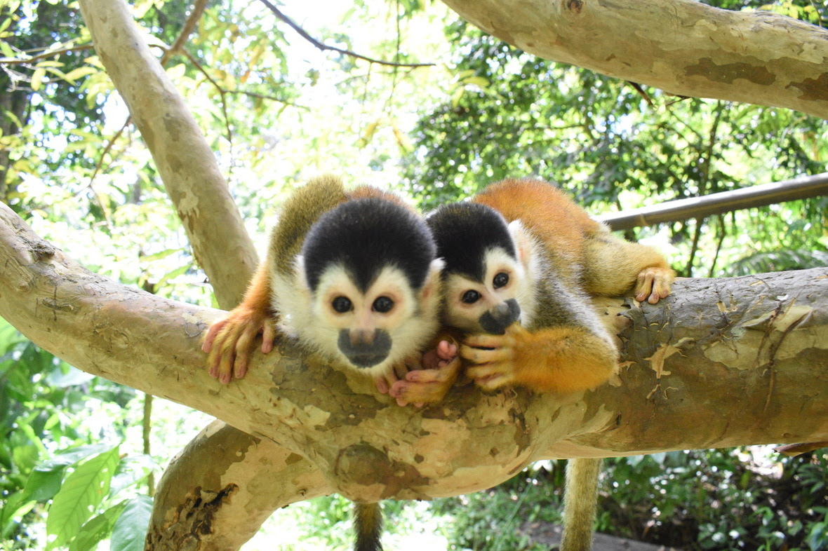 Two squirrel monkeys looking into the camera