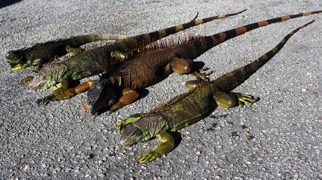 Tres iguanas aturdidas por el frío en Lake Worth, Florida.
