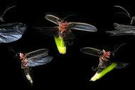 Male common Eastern fireflies.