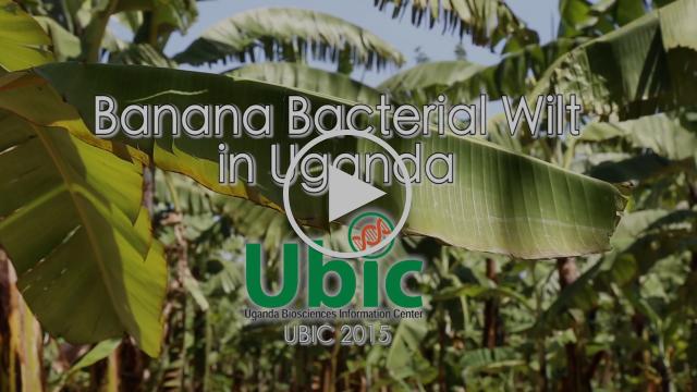 Fighting Banana Bacterial Wilt in Uganda