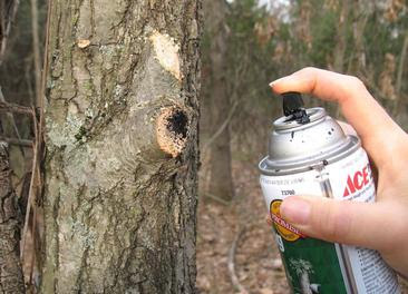 Spray a tree wound dressing on oak wounds.