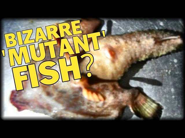 BIZARRE 'MUTANT' FISH WITH WINGS AND FEET BAFFLE CARIBBEAN  Sddefault