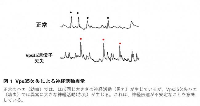 図1 Vps35欠失による神経活動異常
