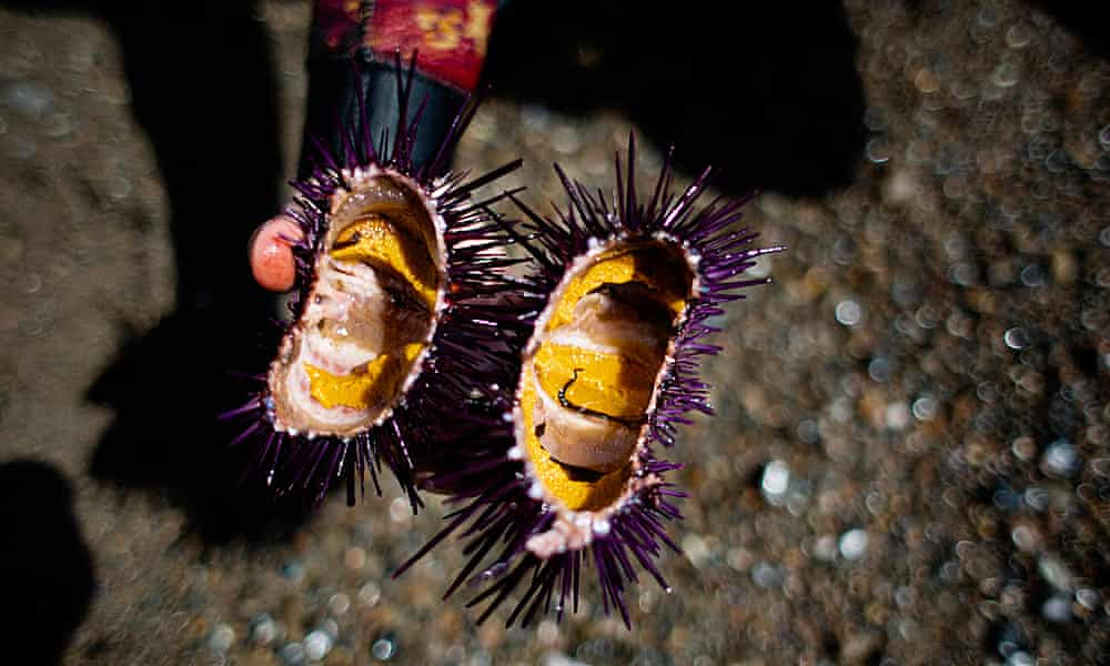 The solution to state's rampant sea urchin problem is to eat them. I gave it a try
