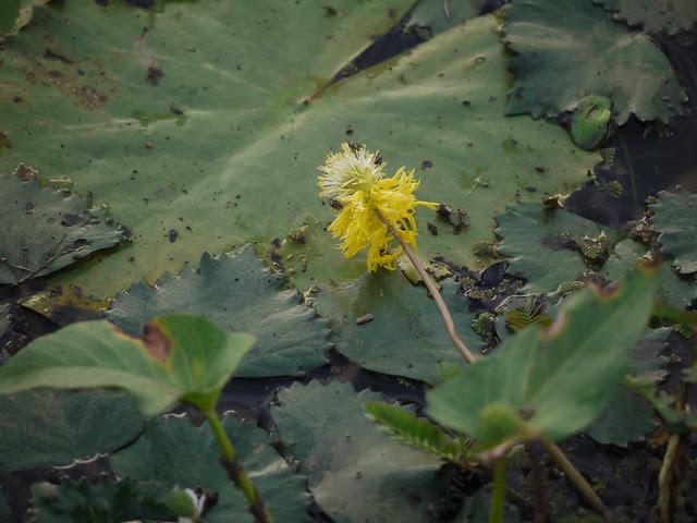 Neptunia oleracea Lour.