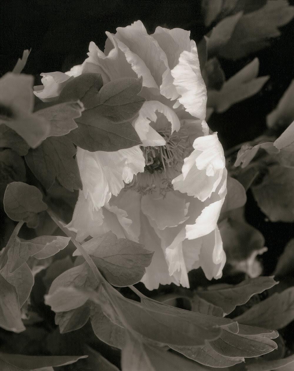 Elvira Piedra, New Flower among the Leaves,Tree Peony.jpg