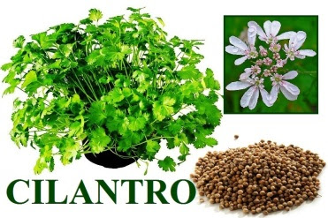 coriander collage