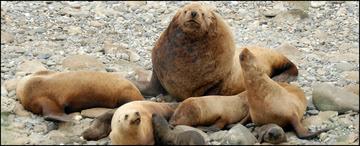 Steller Watch sea lions