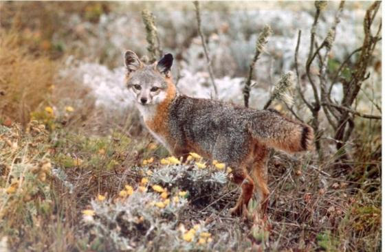 Island fox surrounded by vegetation in California
