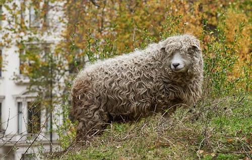 A greyface Dartmoor sheep in the Wildlife Garden