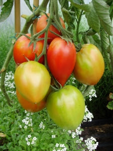 Tomato 'Amish Paste' - the best for tomato sauce