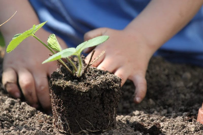 Child planting strawberry seedling
