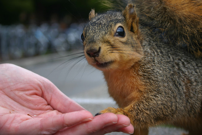 Image of a squirrel about to walk onto an open human hand; the squirrel is looking up at the human wondering if he or she can be trusted
