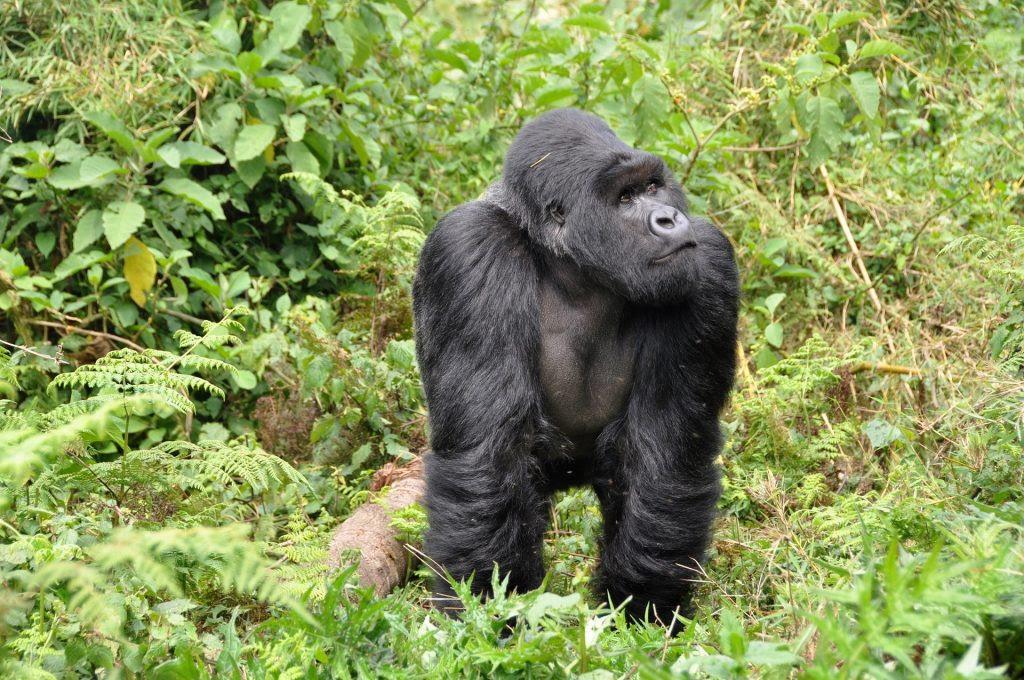 La imagen tiene un atributo ALT vacío; su nombre de archivo es gorillas-474728_1920-1024x680.jpg