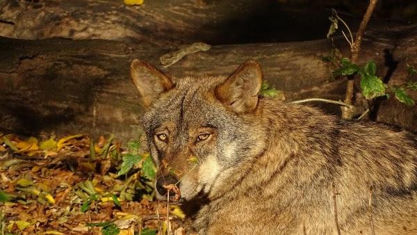Lobo. Imagen de 3Dinaani en Pixabay