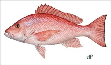 Red Snapper illustration