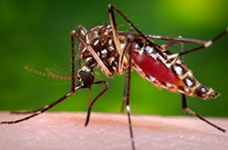 A female Aedes aegypti mosquito in the process of acquiring a blood meal from her human host. (Credit: CDC/James Gathany)